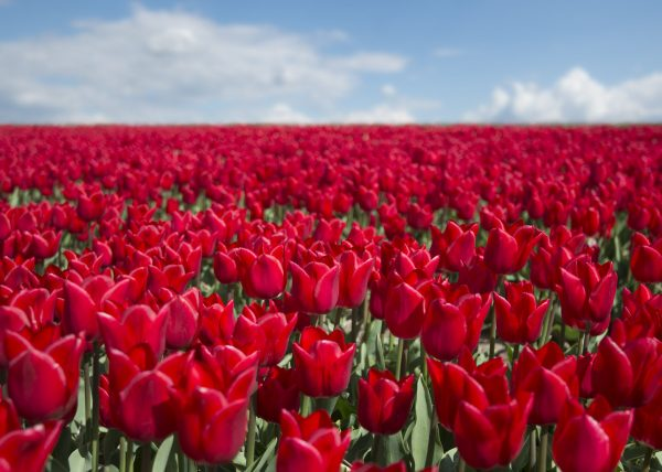 Red Tulips of Holland