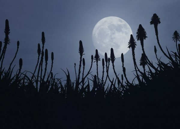 Fullmoon over the Aloe Vera blooms