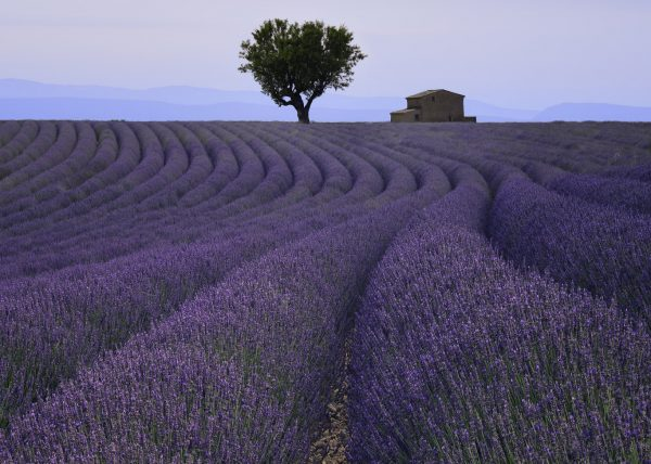 Lavender Fields of Provence France